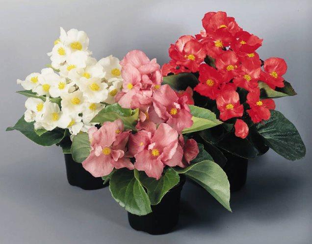 цветы бегония